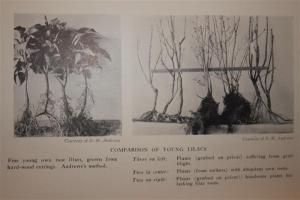 Иллюстрация из книги. Слева - корнесобственные кусты. На картинке справа: по краям саженцы, привитые на бирючину, в центре два корнесобственных.