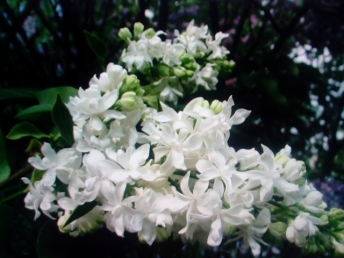 белая ветка от Надин