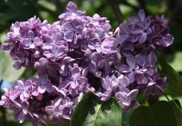 Violetta (2) (Small)